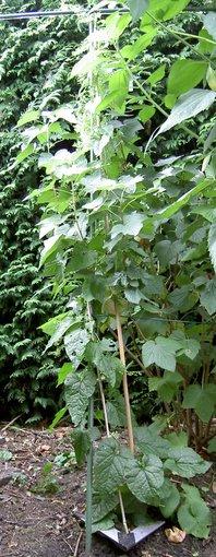 hablitzia tamnoides var kaukasica plant2_phatch