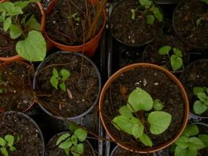 hablitzia tamnoides seedling in 2nd potting