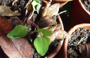 hablitzia tamnoides seedling2_phatch